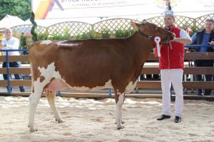 Czempion w kategorii krowy w I laktacji rasy PHF odmiany czerwono-białej