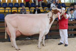 Czempion w kategorii krowy w II laktacji i dalszych rasy PHF odmiany czerwono-białej