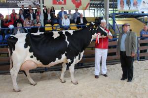 Czempion w kategorii krowy w III laktacji i dalszych rasy PHF