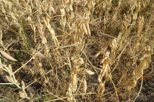 Świętokrzyskie: W związku z suszą zbiory zbóż mogą być niższe nawet o 40 proc.