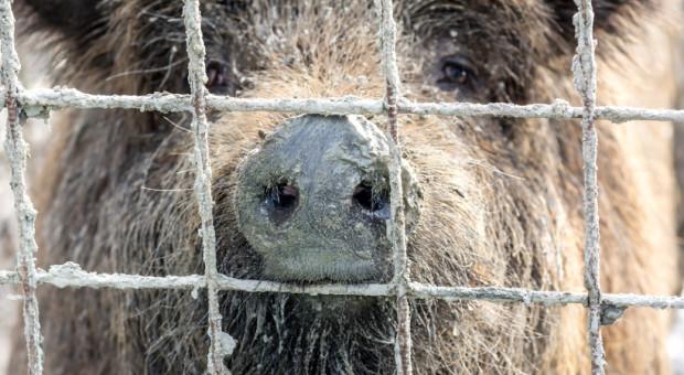 Główny Inspektorat Weterynarii nie odróżnia dzika od świni
