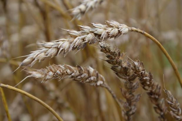 Czerń zbóż obniża jakość ziarna