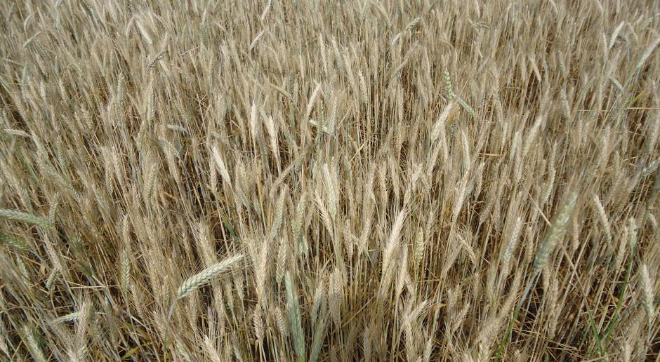 Świętokrzyskie: Szacowane straty z powodu suszy - ok. 80 mln zł