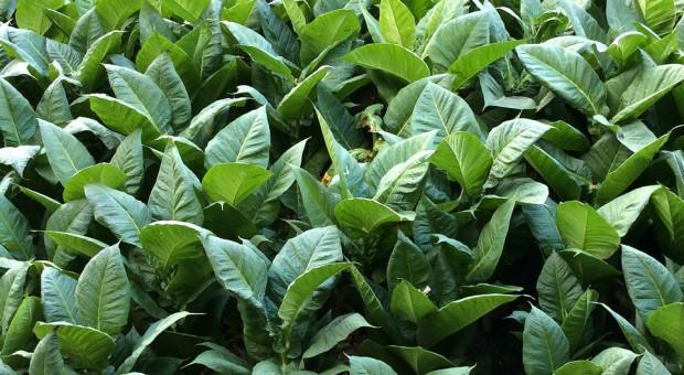 Producentom tytoniu łatwiej będzie utworzyć grupę