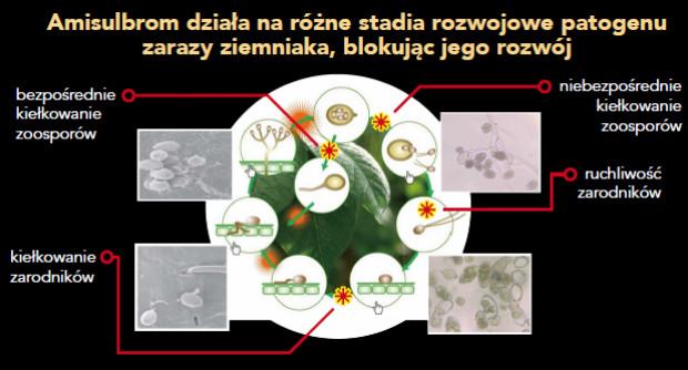 Schemat 2. Blokowanie różnych stadiów rozwoju zarodników przez amisulbrom