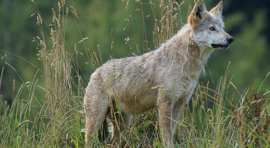 Na Podkarpaciu wilk zaatakował i poranił dwoje dzieci