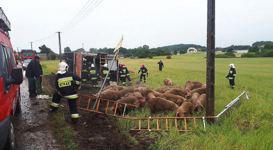Wywrócił się samochód wiozący świnie
