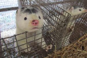 Dyrektor HSI: Liczymy na poparcie zakazu hodowli zwierząt futerkowych przez Senat i Prezydenta