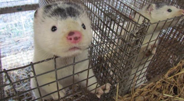 W. Brytania - były szef branży futrzarskiej: zwięrzęta w klatkach szaleją ze stresu