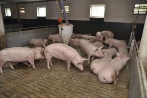 Tucz trwa 3 miesiące, do masy ciała 120 kg masy ciała,  zwierzęta osiągają przyrosty ponad 1000 g/dzień, przy mięsności 57,5-58,5 proc. fot. A Królak
