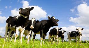 Wypas pastwiskowy to zdrowsze i smaczniejsze mleko