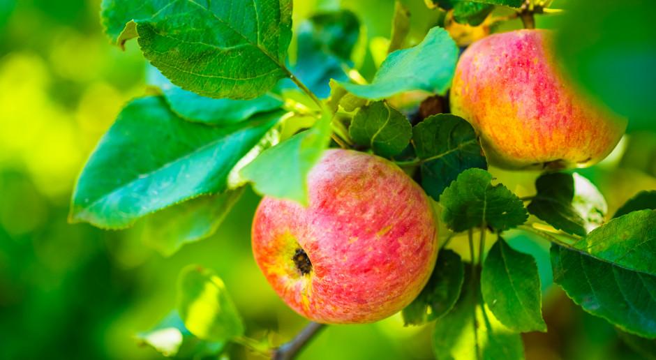 Bronisze: Pojawiły się już pierwsze jabłka z tegorocznych zbiorów