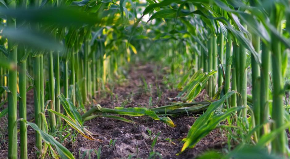 Niemcy: Większe zasiewy kukurydzy z powodu ekstremalnej pogody