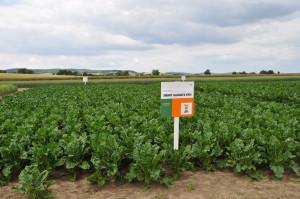 Planowany termin wprowadzenia do uprawy odmiany Smart Gladiata KWS, to wiosna 2019 r., fot. W. Konieczny