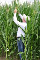 Część odmian kukurydzy wiechowała już na początku 3 dekady czerwca, fot. W. Konieczny