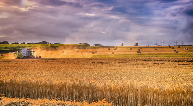 Hiszpania spodziewa się znacznie większych zbiorów zbóż