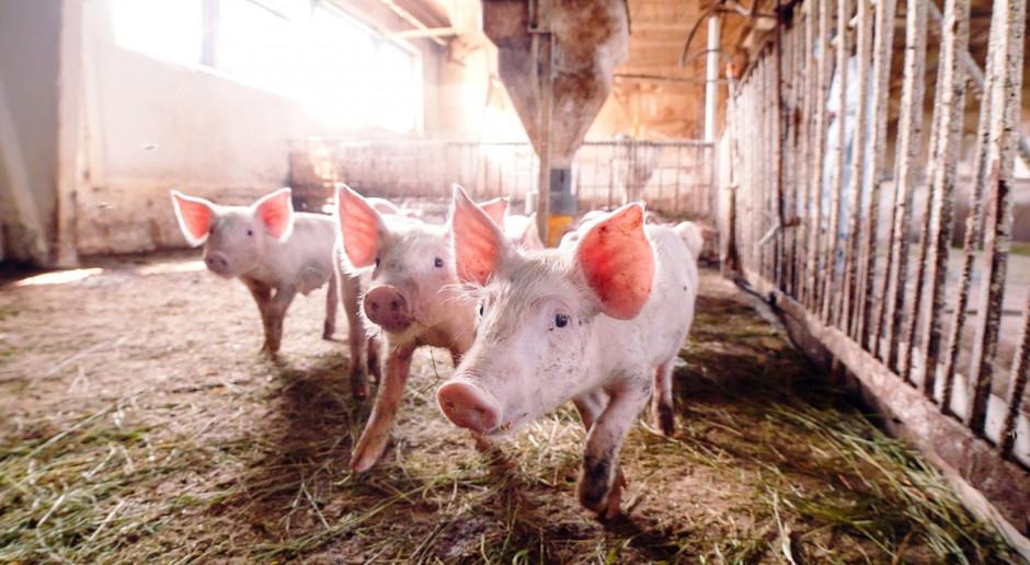 Kolejne ogniska ASF - liczące w sumie 12 świń