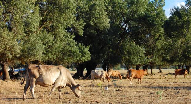 Radioaktywne pastwiska? Hiszpańskim hodowcom zagraża wydobycie uranu