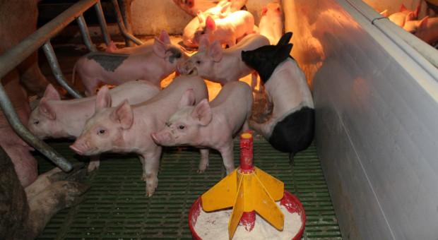 Nie chcą promocji mięsa od importowanych świń