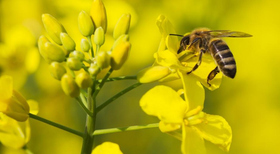 Ardanowski: Zaprawianie nasion rzepaku to mniejsze zło dla pszczół niż intensywne opryski