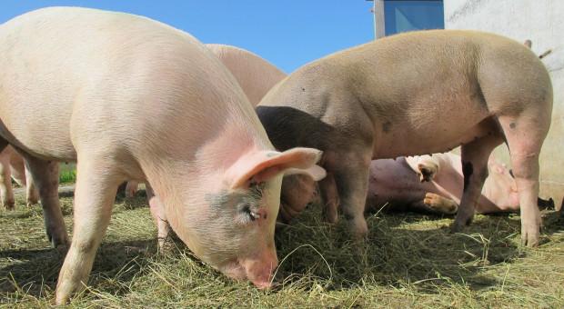 Mniejsze pogłowie świń w Chinach