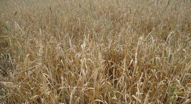 Czy ostatnie deszcze zmieniły sytuację na polach – nowy raport IUNG
