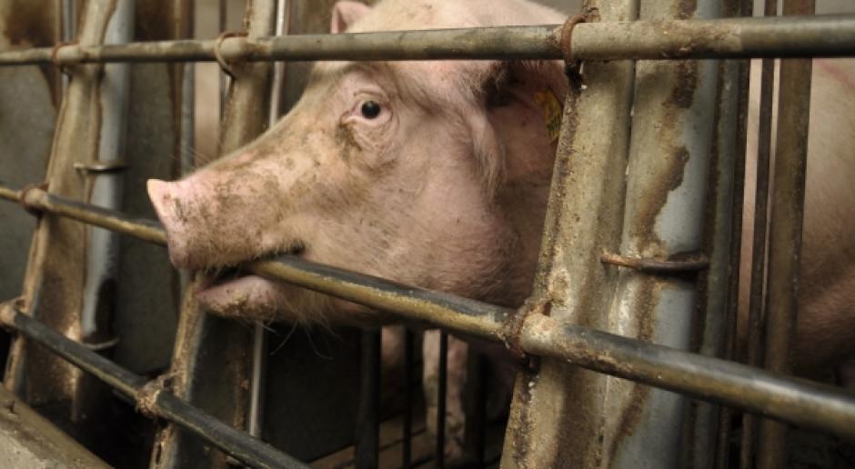 Zapuszkowany ASF, czyli sensacja na koszt rolników i branży mięsnej