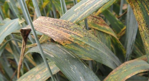 Rdza robi się czarna – co jeszcze zagraża uprawom?
