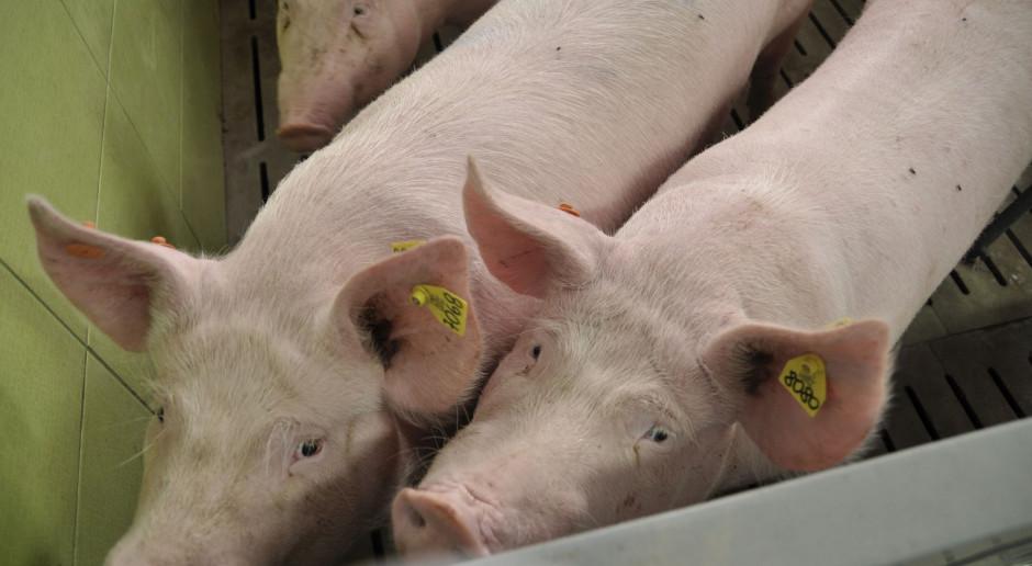 Data oznakowania świni będzie wymagana w rejestrze zwierząt gospodarskich