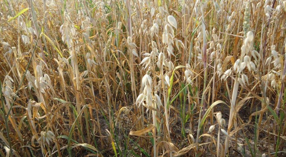 Rolnicy chcą, aby rząd poprosił o wsparcie w sprawie suszy KE