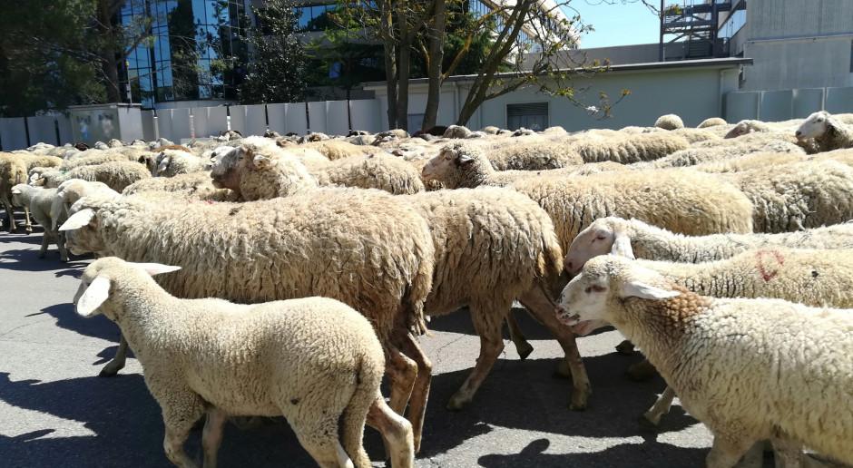 Włochy: Na Sardynii nasilają się protesty hodowców owiec