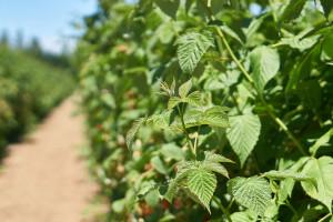 MSZ nie wesprze zakładania plantacji malin na Ukrainie