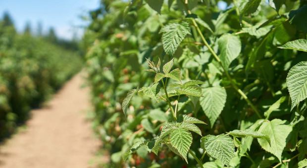261 tys. zł na pomoc dla Ukrainy w założeniu plantacji malin