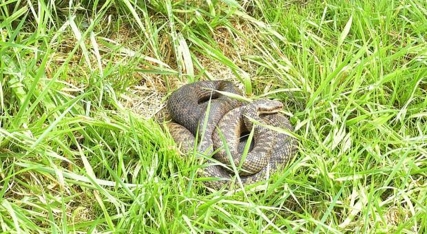 Jadowity wąż w gospodarstwie