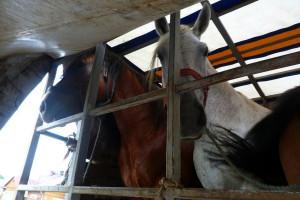 W dostawczaku przewoził konie