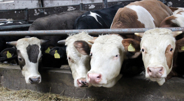 Wyraźne obniżki cen w skupach bydła