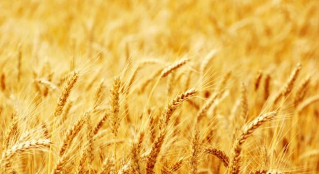 USDA: Mniejsza światowa produkcja pszenicy, stabilna zbóż paszowych