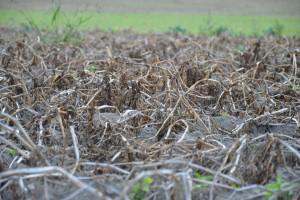 Termin niszczenia naci - ziemniak nasienny