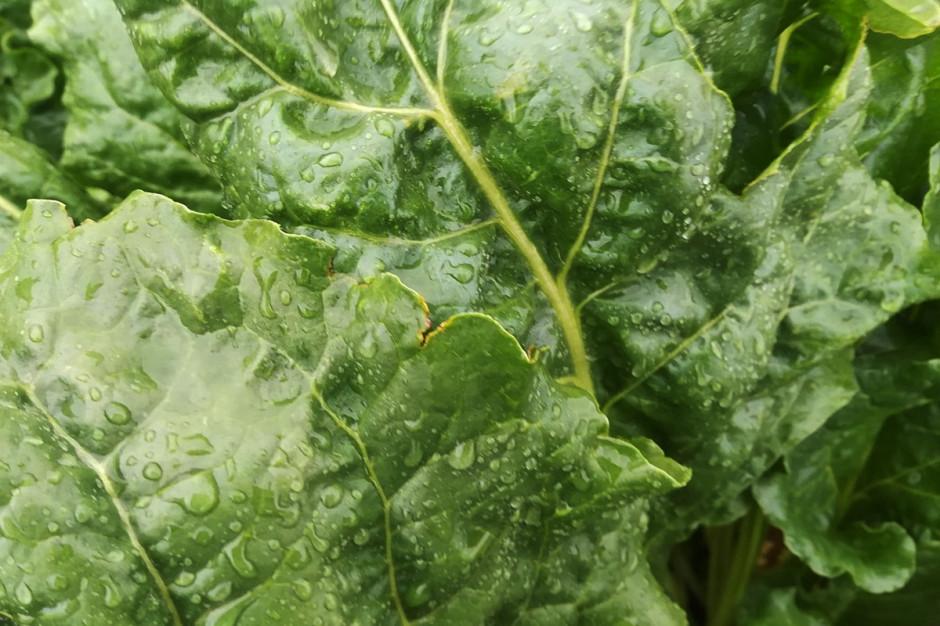 Wysoka wilgotność i parna pogoda sprzyjają rozwojowi chorób grzybowych