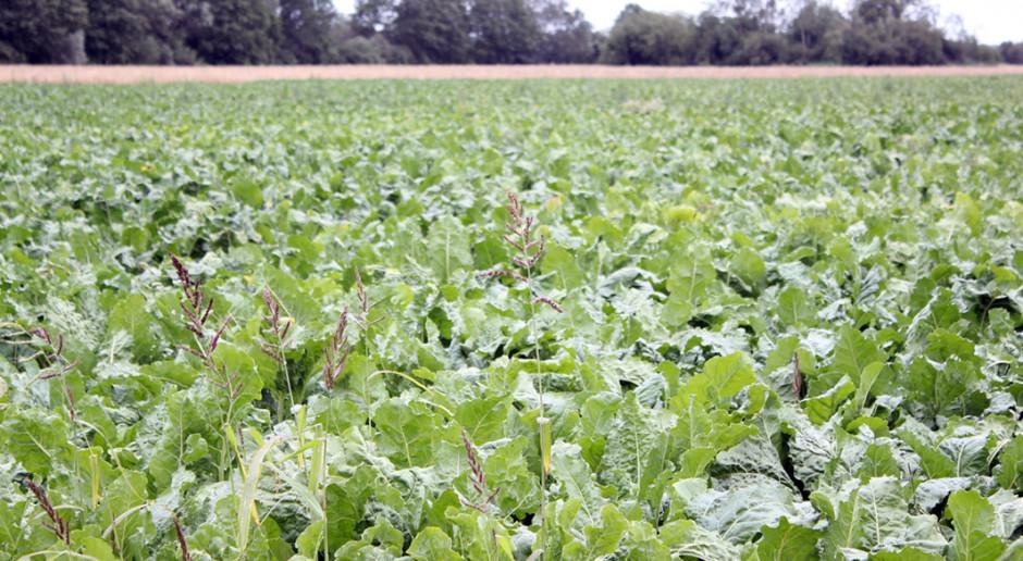 Przerwane żniwa, ale opady poprawiają kondycję kukurydzy i buraka