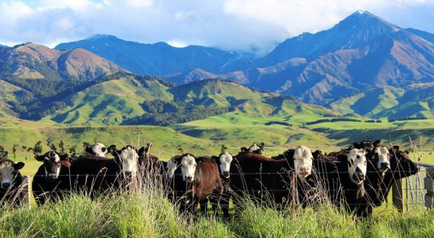 Nowa Zelandia: 150 tys. sztuk bydła przed ubojem