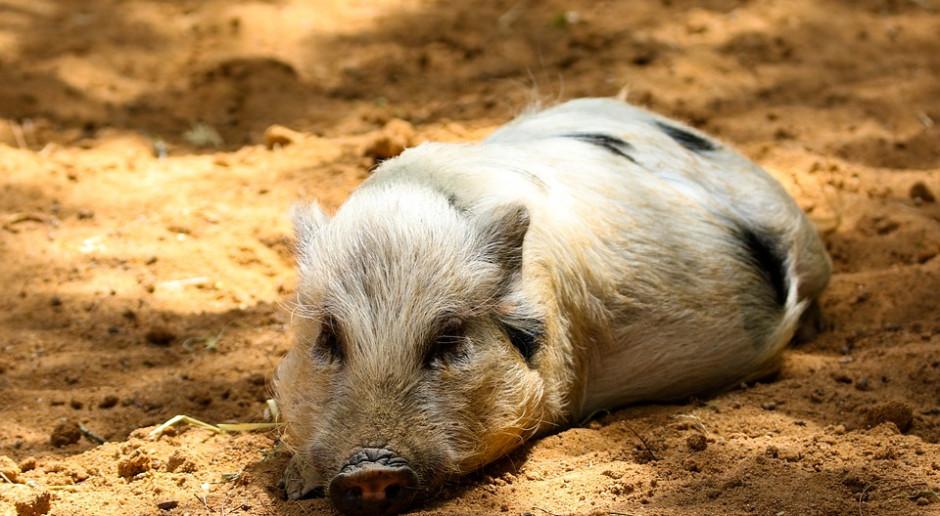 """Rolnicy sprzeciwiają się wybijaniu zdrowych świń, """"podejrzanych"""" o ASF"""
