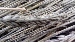 Porośnięte ziarno w kłosie pszenżyta ozimego. Zdjęcie wykonane przez pana Łukasza Szymańskiego z okolic Makowa Mazowieckiego