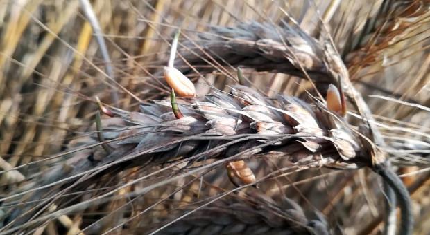 Sklejanie kłosów zbóż - czy warto?