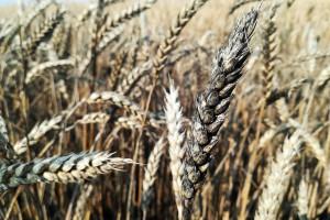 Łany zbóż czernieją