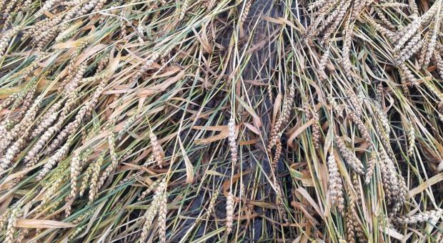 Najpierw susza, teraz pozalewane pola