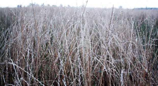 Kłopoty także na plantacjach nasiennych traw