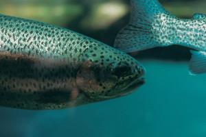 Chile: Z hodowli uciekło 690 tys. łososi, którym podawano groźne antybiotyki