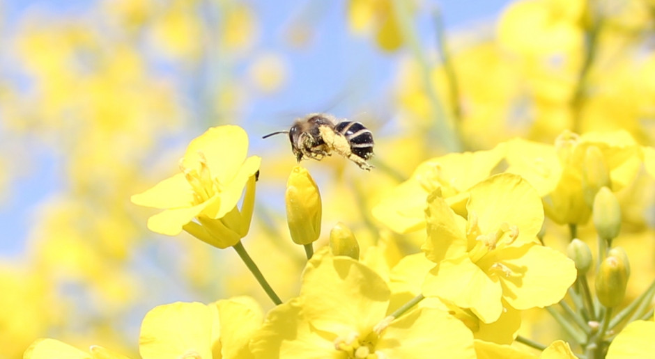 Władze Małopolski ogłosiły konkurs dotyczący ochrony pszczół