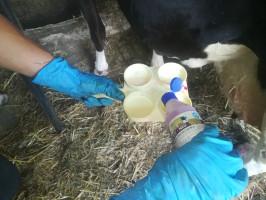 Badanie mleka możemy zlecić Polskiej Federacji Hodowców Bydła i Producentów Mleka, jak również wyspecjalizowanym laboratoriom. Chcąc jednak ograniczyć koszty i przede wszystkim skrócić czas oczekiwania na wyniki, możemy część badań przeprowadzić na własną rękę; Fot. Łukasz Głuchowski